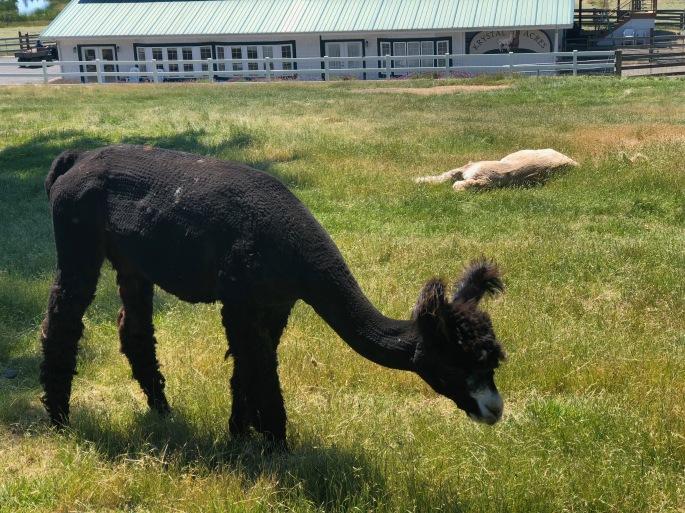 San Juan Island, Roche Harbor, , Washington State, PNW,  Friday Harbor, Alpaca Farm